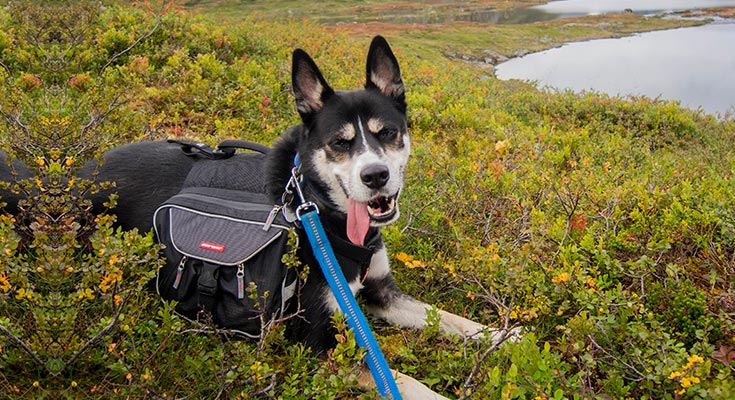 backpacking with your dog what to bring and prepare