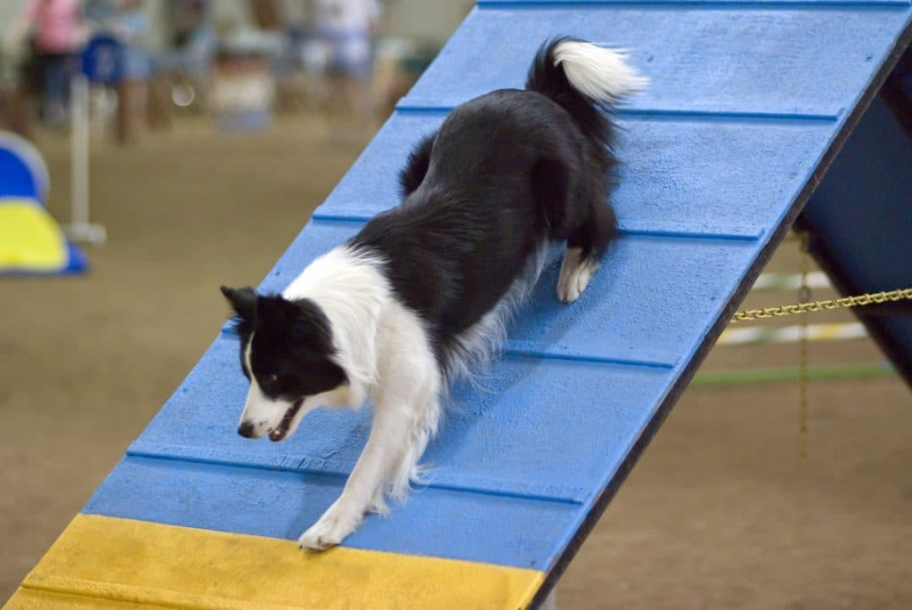 Volunteer search and rescue dog agility training