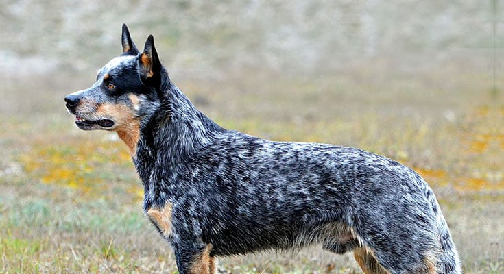 top 10 australian dog breeds you should consider