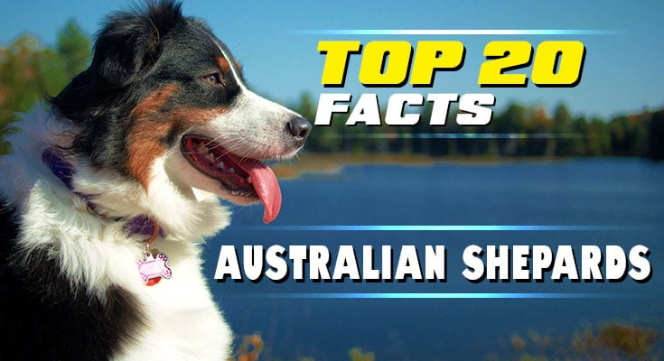 Things to know about Australian Shepherds caring for and raising them 3